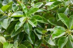 Detalle del verde de la textura de las hojas de los ficus Fondo de los ficus Imagenes de archivo