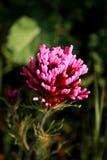 Detalle del Wildflower de California Fotografía de archivo libre de regalías