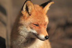 Detalle del zorro rojo Foto de archivo