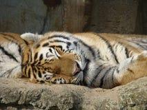 Detalle durmiente del tigre foto de archivo