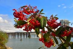 Detalle el portret rojo de las plantas de las bayas con el río, fondo del cielo Imágenes de archivo libres de regalías