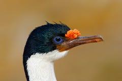 Detalle el retrato de la pelusa imperial, atriceps del Phalacrocorax, cormorán blanco y negro con eyea azul de Falkland Islands Fotos de archivo libres de regalías
