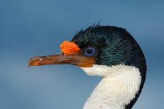 Detalle el retrato de la pelusa imperial, atriceps del Phalacrocorax, cormorán blanco y negro con eyea azul de Falkland Islands Imagen de archivo libre de regalías