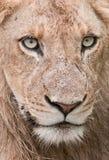 Detalle el retrato de un león masculino joven en África Imagen de archivo libre de regalías
