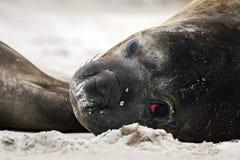 Detalle el sello de elefante del retrato del ojo, leonina del Mirounga Sello en la playa de la arena El sello de elefante con pel Imagenes de archivo
