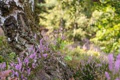 Detalle el tiro de abedules, y el brezo floreciente en reserva de naturaleza en el día Imagen de archivo libre de regalías