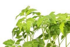 Detalle en una planta del almácigo de los tomates de las hojas aislada en un B blanco Fotografía de archivo