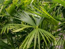 Detalle enano de las hojas de palma de la fan foto de archivo