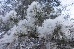 Detalle escarchado del hoar de la nieve de la rama del pino del exterior Fotos de archivo