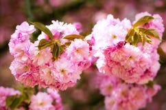 Detalle floreciente de la flor rosada de Sakura Foto de archivo