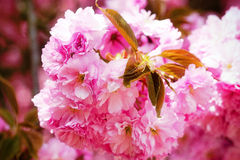 Detalle floreciente de la flor rosada de Sakura Imagen de archivo libre de regalías