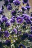 Detalle hermoso del campo de flores púrpura Fondo del flor de la primavera Imagen para la agricultura, BALNEARIO, industrias médi fotografía de archivo libre de regalías
