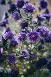 Detalle hermoso del campo de flores púrpura Fondo del flor de la primavera Imagen para la agricultura, BALNEARIO, industrias médi imagenes de archivo