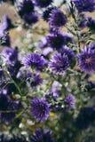 Detalle hermoso del campo de flores púrpura Fondo del flor de la primavera Imagen para la agricultura, BALNEARIO, industrias médi imagen de archivo libre de regalías