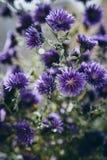 Detalle hermoso del campo de flores púrpura Fondo del flor de la primavera Imagen para la agricultura, BALNEARIO, industrias médi foto de archivo libre de regalías