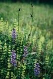 Detalle hermoso del campo de flores púrpura y verde claro en montañas Fondo del flor de la primavera Imagen para la agricultura Foto de archivo