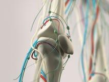 Detalle humano de la anatomía de la rodilla Estructura del hueso en fondo llano del estudio libre illustration