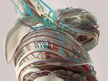 Detalle humano de la anatomía del pecho y del hombro Estructura del hueso en fondo llano del estudio ilustración del vector