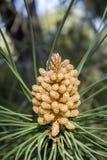 Detalle joven de piedra del cono del pino (Pinus Pinea) Foto de archivo