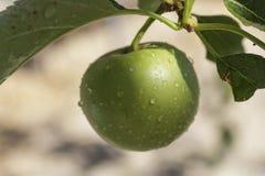 Detalle la fruta en el manzano después de la lluvia Fotos de archivo libres de regalías