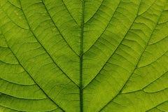 Detalle macro de la hoja verde Foto de archivo libre de regalías