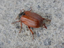 Detalle macro de un escarabajo grande foto de archivo
