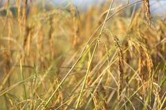 Detalle maduro del arroz Imágenes de archivo libres de regalías