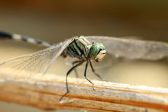 Detalle manchado de la libélula Fotos de archivo