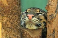 Detalle nublado del leopardo fotografía de archivo
