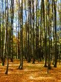 Detalle otoñal del bosque de la haya Fotografía de archivo libre de regalías