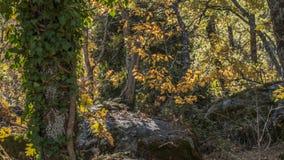 Detalle otoñal del bosque del roble de Herreria del La, San Lorenzo del Escor Fotografía de archivo