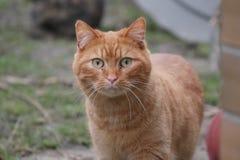 Detalle principal del gato imágenes de archivo libres de regalías