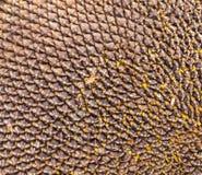 Detalle principal del girasol Foto de archivo libre de regalías