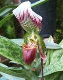 Detalle raro de la orquídea Imagen de archivo libre de regalías