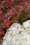 Detalle rojo del arbusto de la hoja Fotos de archivo