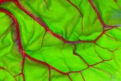 Detalle rojo orgánico de la hoja del cardo suizo Imagen de archivo