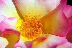 Detalle rosado de Rose Fotos de archivo libres de regalías