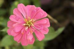 Detalle rosado del cierre de la opinión superior de la flor um con el fondo verde Foto de archivo