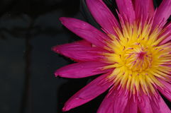 Detalle rosado del lirio de agua Imagen de archivo