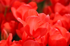 Detalle rosado del tulipán Fotografía de archivo