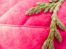 Detalle similar humano del árbol de hoja perenne y de la hoja imagenes de archivo