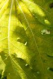 Detalle verde claro brillante de la hoja de la papaya del primer el día de la sol Imagenes de archivo