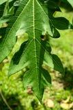Detalle verde de la extremidad de la hoja de la papaya del primer el día de la sol Imagenes de archivo