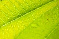 Detalle verde de la hoja con descensos del agua Imagen de archivo