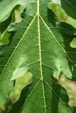 Detalle verde de la hoja de la papaya del primer el día de la sol Imagen de archivo