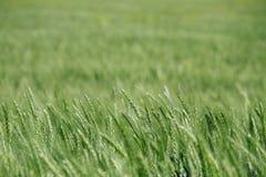 Detalle verde del campo de trigo Fotografía de archivo libre de regalías