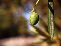 Detalle verde oliva Fotografía de archivo