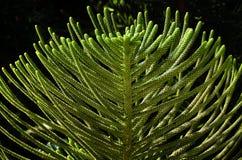 Detalles, árbol de pino de douglas Imagen de archivo
