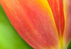 Detalles abstractos de la foto macra del tulipán de la flor de los pétalos del alto primer rojo, amarillo y anaranjado de la ampl imagen de archivo