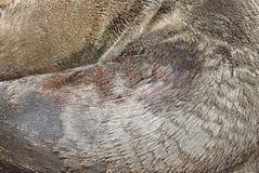 Detalles abstractos del sello del mar de la piel Fotografía de archivo